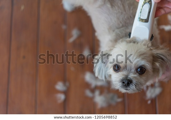 Grooming Haircut Dog Fur Beige Dog Stock Photo Edit Now 1205698852