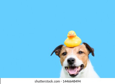 Grooming, hygiene and care concept with dog holding yellow rubber duck on head