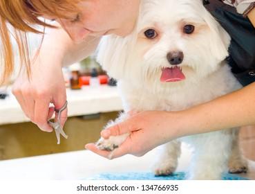 Grooming Maltese dog