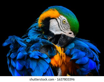 Grooming time Blue Yellow Macaw