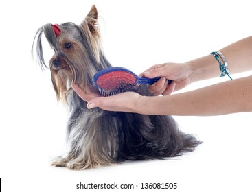 grooming yorkshire terrier in front of white background