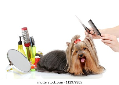 Grooming the yorkshire terrier isolated on white