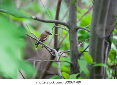 Grosbeak (hawfinch) on a branch of the tree among green leaves. Selective focus