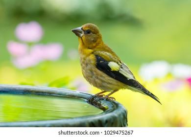 Grosbeak perched on birdbath with colorful background