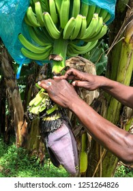 Gros-Morne, Martinique, France/11.2018 A guide explains the life cycle of a banana tree.