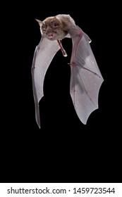 Grote Hoefijzerneus, Greater Horseshoe Bat, Rhinolophus ferrumequinum