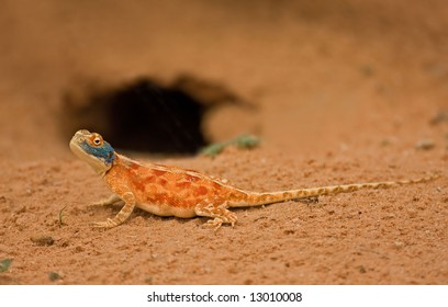 Ground agama; Agama aculeata; Kalahari desert; South Africa