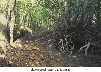 ground beech woods with bare roots on hiking trail in Etna Park, Sicily