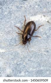 a Ground beetle - Amara bifrons
