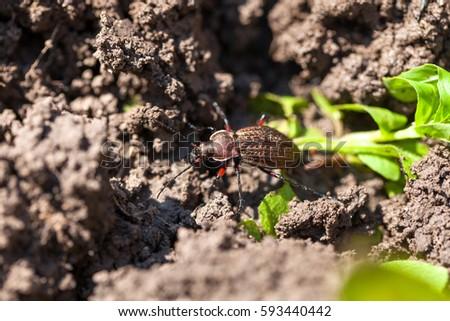 Ground Beetle Carabus Cancellatus On Cortex Stock Photo