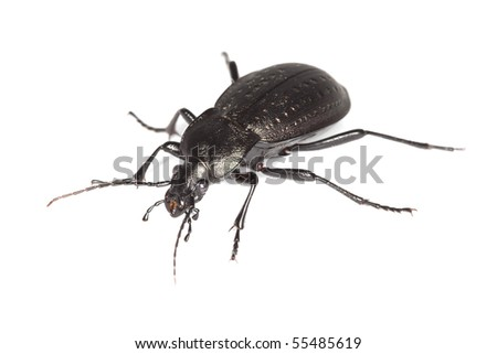 Ground beetle (Carabus hortensis) isolated over white.