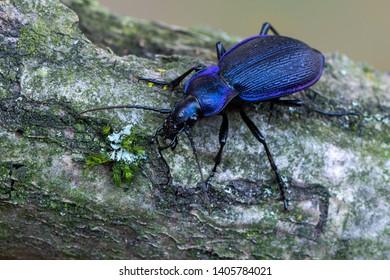 Ground beetle - Carabus problematicus