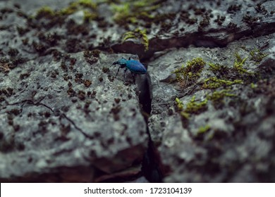 A ground beetle (coleopterous blue beetle) on a stone wall among moss in nature. A rare insect in the environment. Close-up (macro).Texture and background. Landscape orientation