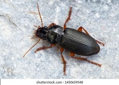 a Ground beetle - Pseudoophonus rufipes