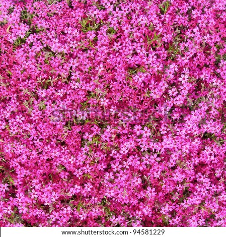 Ground cover hot pink flowers background stock photo edit now ground cover with hot pink flowers as background mightylinksfo