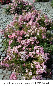 Ground cover roses in small garden beds in a path, paved with granite cubes