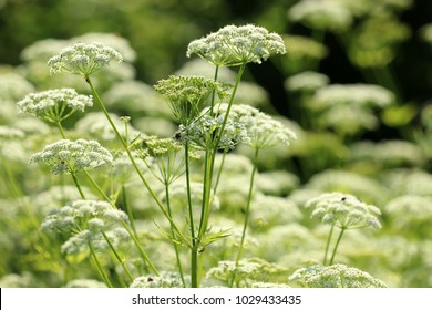 ground elder, herb gerard, bishop's weed, goutweed, gout wort,