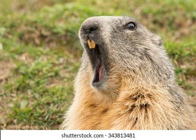 ground hog marmot day close up portrait while yawning