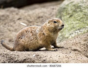 Ground hog (prairie dog)