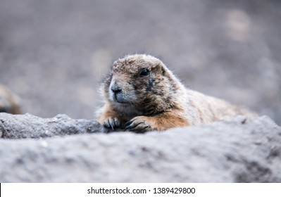 A ground hog is securing his own area