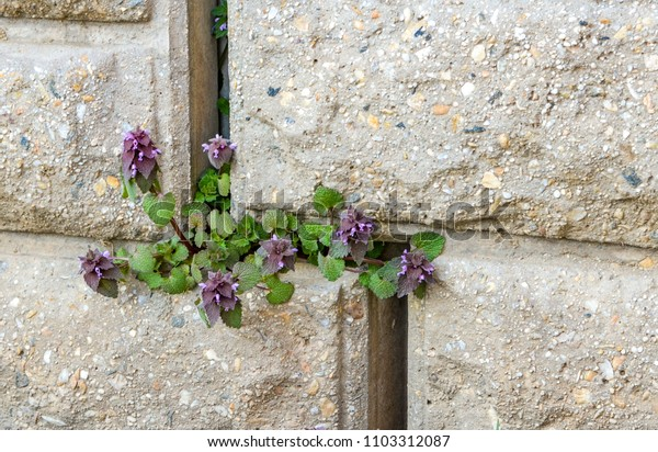 Ground ivy (Glechoma hederacea) growing from a seam in a cement block wall.