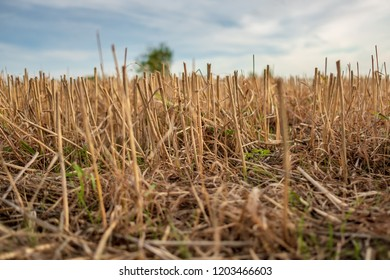 Ground level, close up view of freshly harvested wheat crop seen on an arable field during autumn. The image was taken at dusk, giving a warming glow to the image.