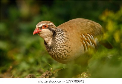 Ground level image of a brightly coloured Red Legged Partridge bird. Found in the countryside on farmland. A small plump stocky bird with a short stumpy beak.