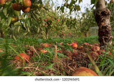 Ground level, shallow focus view of fallen Apples seen in a commercial cider orchard. Some of the fruit is seen rotting on the floor of the orchard, the image taken during early autumn.