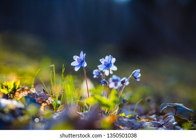 Ground level view of lovely flowers in woods. Fresh seasonal background. Concept of the ecology. Selective focus, blurred foreground. Flowering garden in spring time. Anemone hepatica.