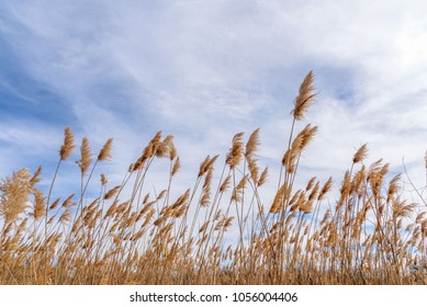 ground level view of tall dry prairie grass blowing in the wind