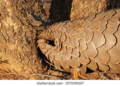 Ground Pangolin digging for food in Erindi Private Game Reserve, Namibia