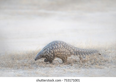 Ground Pangolin during the day