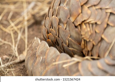 Ground pangolin, a very rare animal to find on safari. Exclusively a predator of termites.
