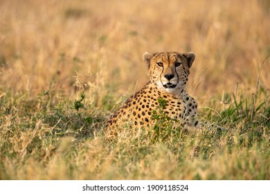 from a ground point of view, a cheetah is looking towards us