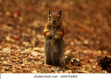 a ground squirel chipmunk in the bryce national park