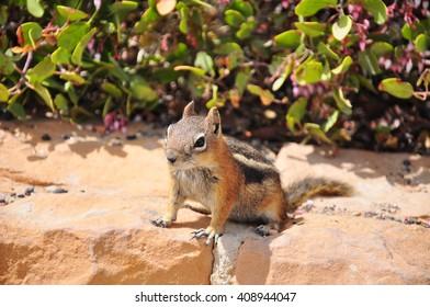 Ground Squirrel at Bryce Point. Bryce National Park, Utah, USA