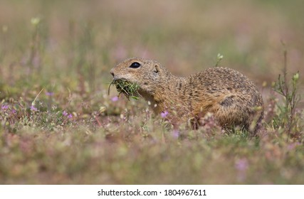 The ground squirrel carries grass - Shutterstock ID 1804967611