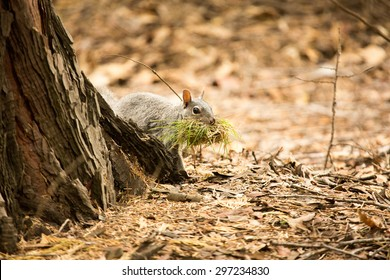 Ground squirrel collecting material for nesting, Yosemite National Park, California