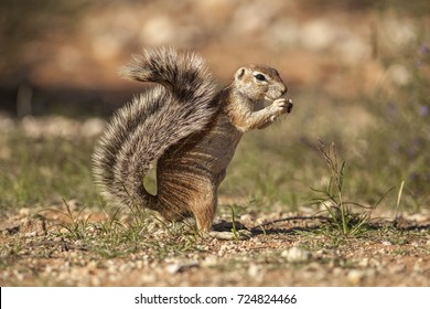 Ground Squirrel eating with hands bushy tail