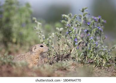 The ground squirrel in flowers - Shutterstock ID 1804964770