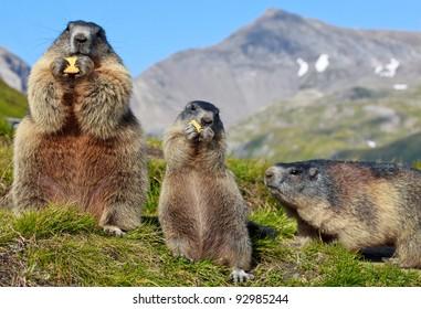 Ground squirrel in mountainous areas - Europe