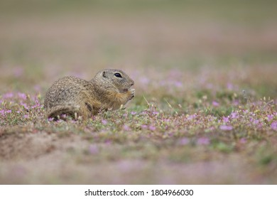 The ground squirrel in rose flowers - Shutterstock ID 1804966030