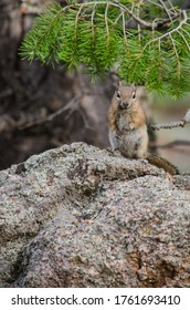 Ground squirrel squatting on a large rock.