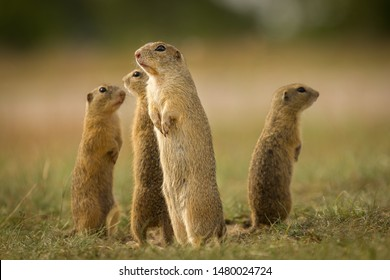 Ground squirrel in their natural environment. Wildlife shot of a very curious animals. Beautiful and cute.