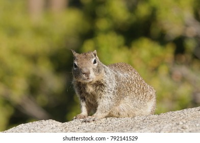 Ground squirrel in Yosemite National Park