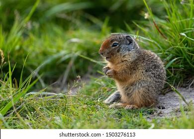 Ground Squirrels of Banff National Park Alberta Canada