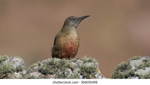 Ground Woodpecker, Geocolaptes olivaceus