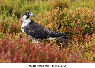 Grounded peregrine. An immature peregrine falcon stares at the lens from her position in some golden vegetation.