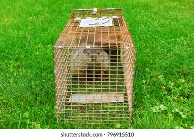 A groundhog in a cage looking at the viewer.