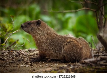 Groundhog checking its surroundings at the Great Swamp, New Jersey